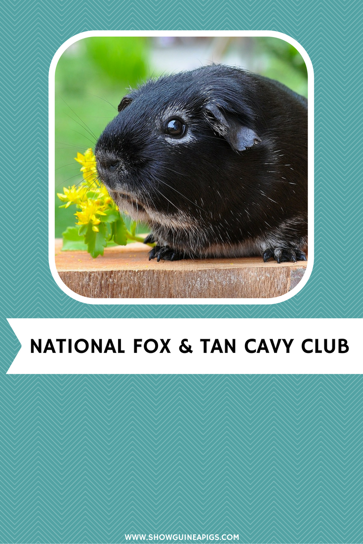 national fox and tan cavy club