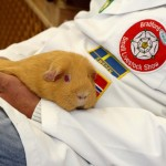 What is a guinea pig show?